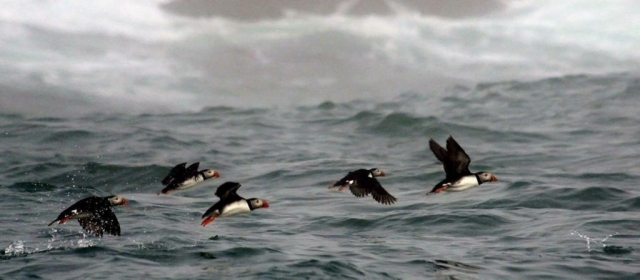 Puffins off the Maine Coast by Mariann Moberg